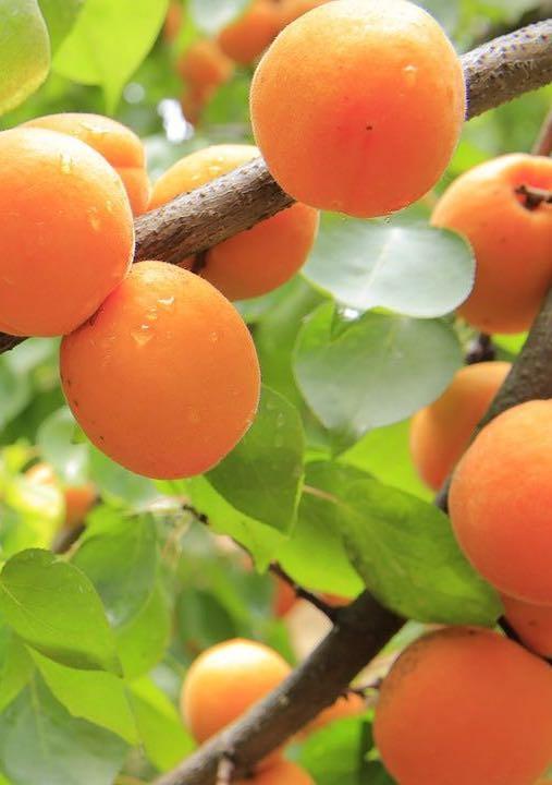 Aprikosen: gesund und lecker