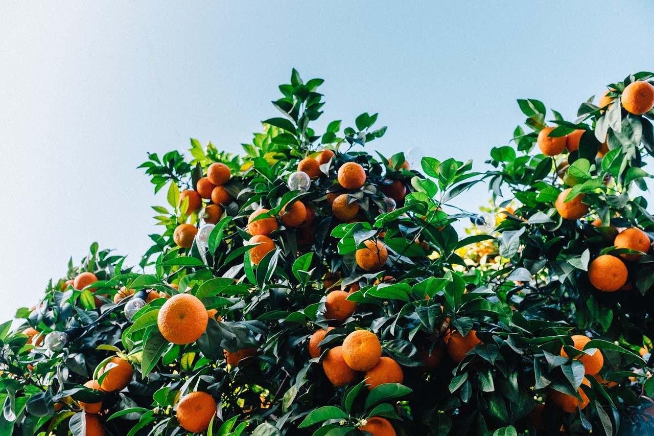 Clementinen sind besonders im Winter als Handobst beliebt in unseren <?PHP echo Aachener;?> Obstkörben