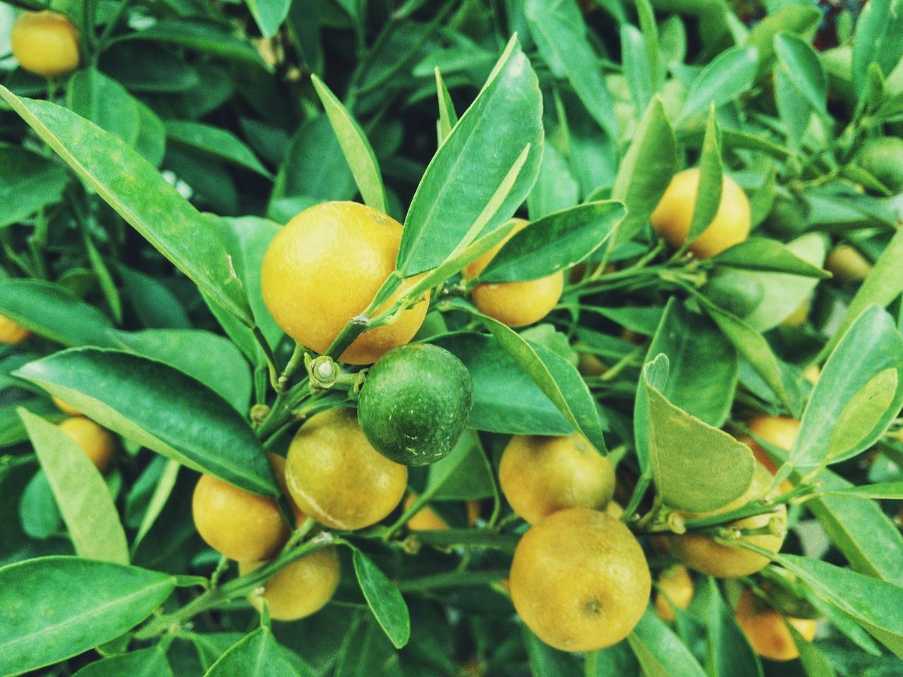 Zitronen Und Obst im <?PHP echo Plauener;?> Lieferservice