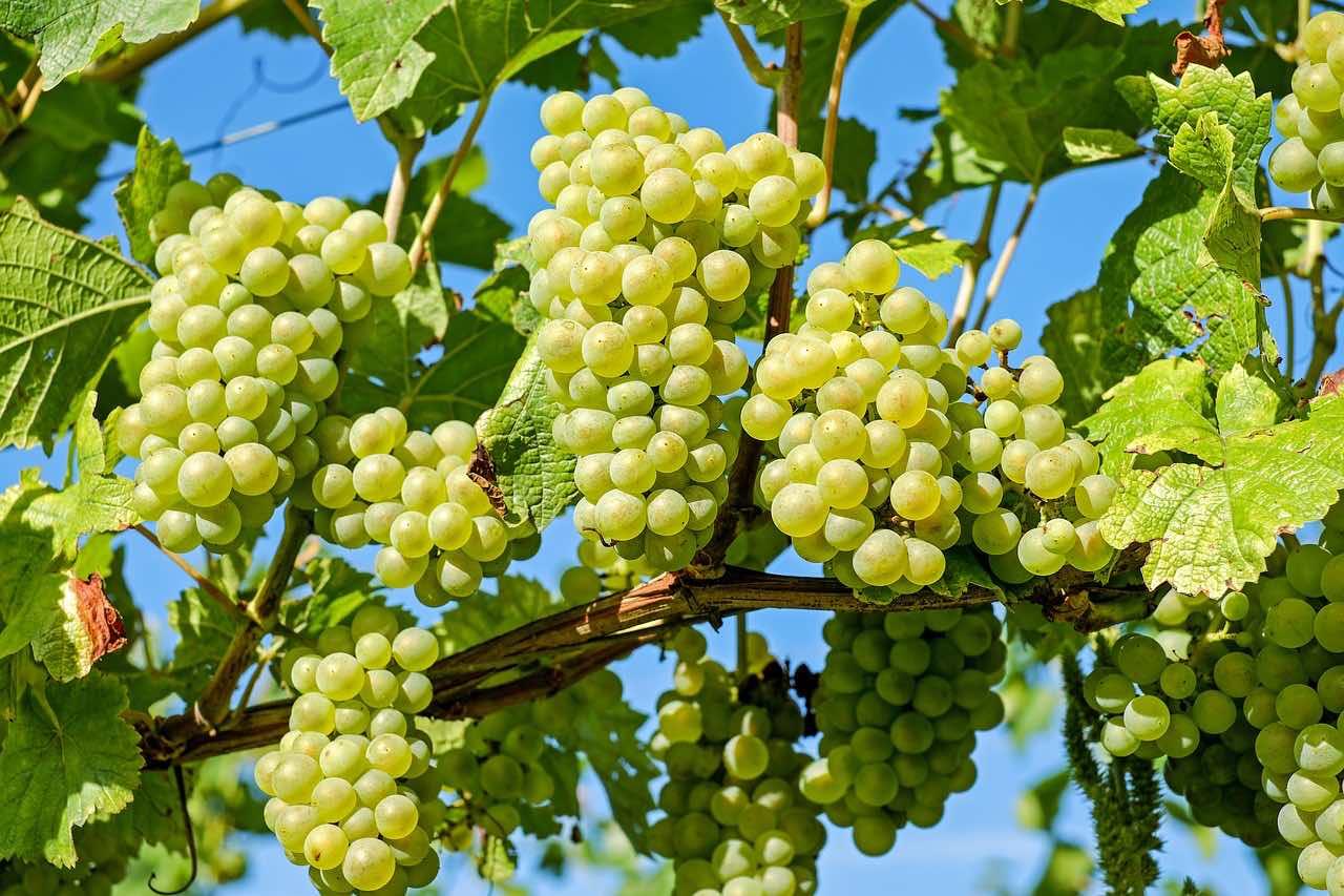 Auerbach (Vogtland): für Obstkiste und Obstkorb: leckere Trauben