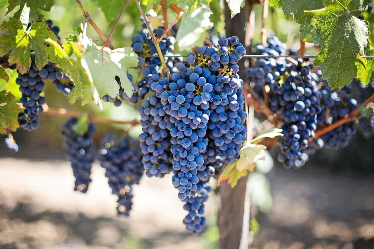 Augsburg: für Obstkiste und Obstkorb: leckere Trauben