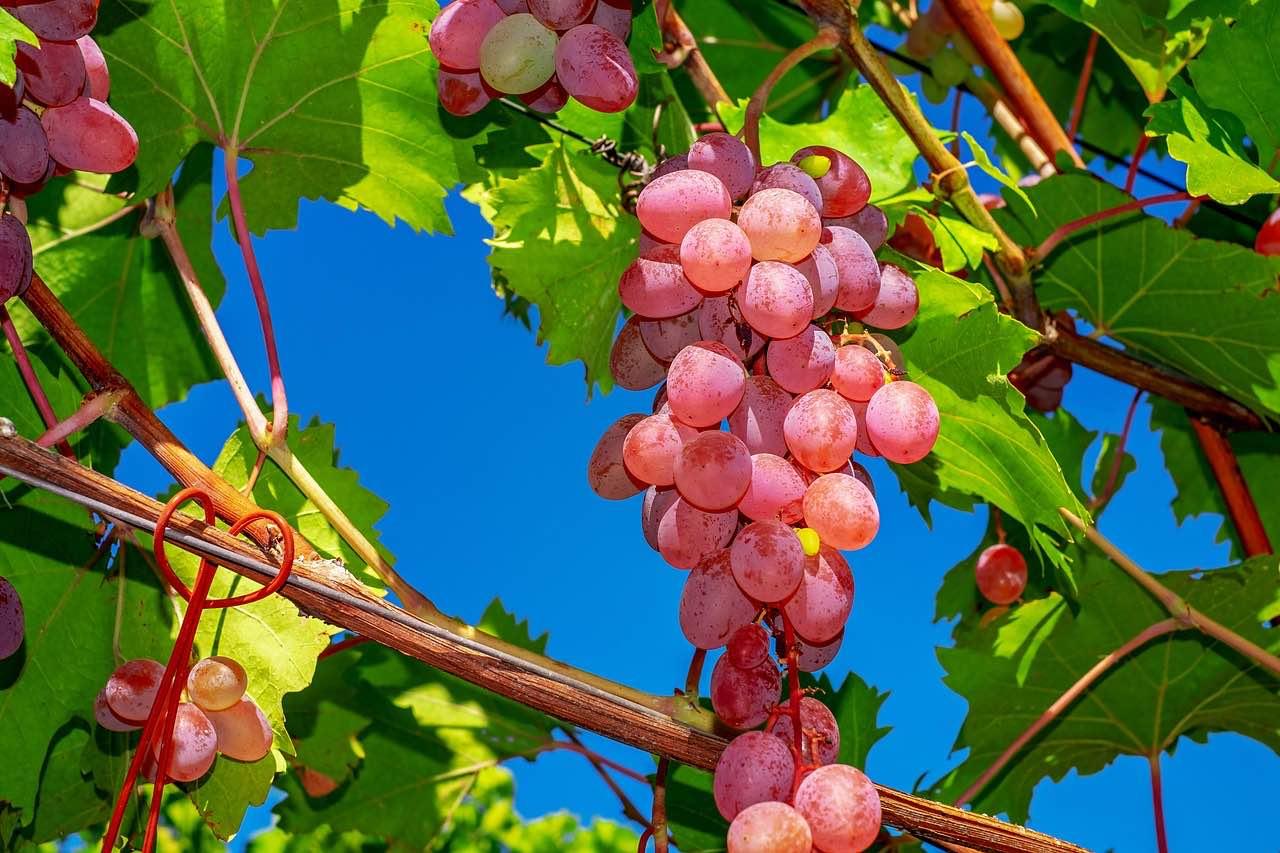 Bretten: für Obstkiste und Obstkorb: leckere Trauben