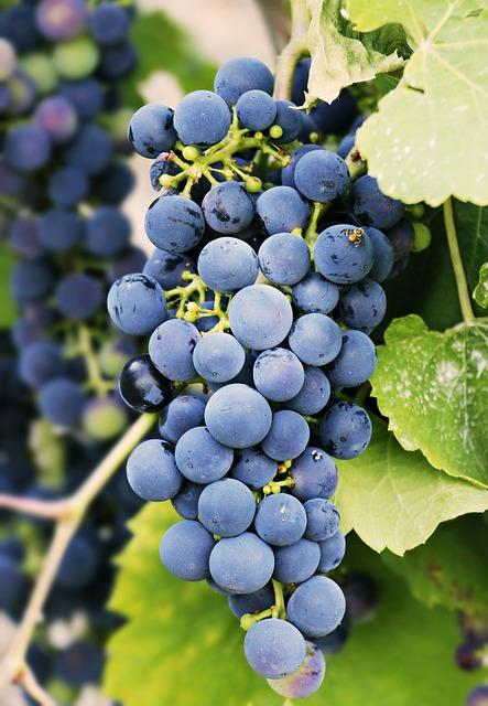 Trauben: rund und gesund, lecker und fruchtig